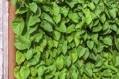 Haag van de achtergrond van groene installatiesbladeren stock foto