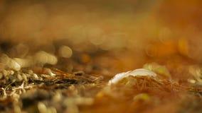 Haagdoornbessen en bladeren stock video