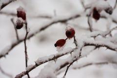 Haagdoornbessen onder zwaar sneeuw en ijs Royalty-vrije Stock Afbeeldingen