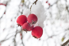 Haagdoornbessen op de struiken met sneeuw worden behandeld die Royalty-vrije Stock Afbeelding