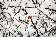 Haagdoornbessen op de struiken met sneeuw worden behandeld die Stock Fotografie