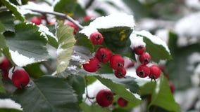 Haagdoornbessen in sneeuw 6 stock videobeelden