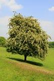 Haagdoornboom Stock Afbeelding