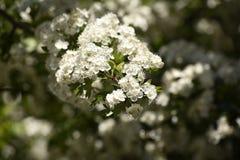 Haagdoornboom het bloeien royalty-vrije stock afbeeldingen