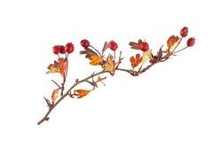 Haagdoornzaden en bladeren op een duidelijke witte achtergrond Royalty-vrije Stock Foto
