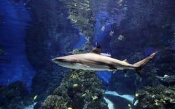 Haai in aquarium Stock Afbeelding
