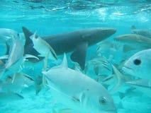 Haai in Belize Midden-Amerika royalty-vrije stock afbeeldingen