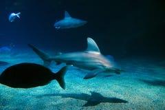 Haai die in aquario in de voorgrond zwemmen stock fotografie