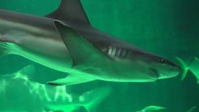 Haai die onder Vissen zwemmen stock footage