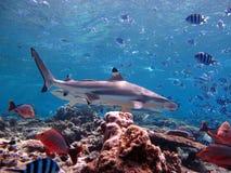 Haai die over koraalrif kruisen Stock Afbeelding