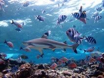Haai die over koraalrif kruisen Stock Foto's