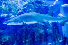 Haai in een aquarium doubai Stock Afbeelding