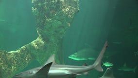Haai het Zwemmen en Marine Life stock footage
