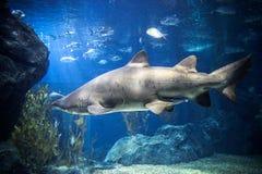 Haai met vissen onderwater in natuurlijk aquarium Stock Afbeeldingen