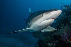 Haai in oceaan Royalty-vrije Stock Foto