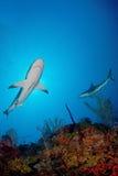 Haai in oceaan Royalty-vrije Stock Afbeelding