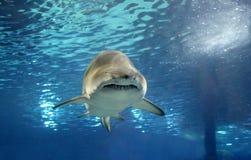Haai onderwater Stock Afbeeldingen