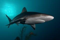 Haai, onderwaterbeeld Royalty-vrije Stock Afbeelding