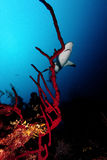 Haai, onderwaterbeeld Stock Foto