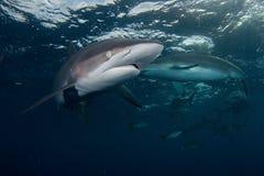 Haai, onderwaterbeeld Royalty-vrije Stock Fotografie