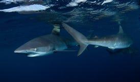 Haai, onderwaterbeeld Stock Foto's