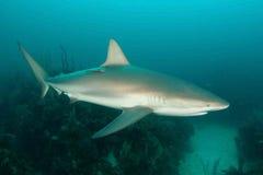 Haai, onderwaterbeeld Stock Afbeeldingen