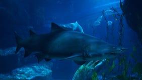 haaien Stock Afbeeldingen