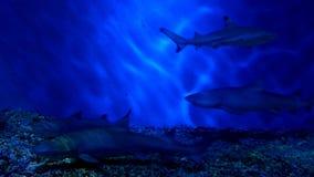 Haaien bij Aquarium Stock Afbeelding