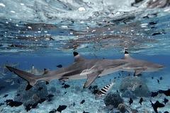 Haaien die in glashelder water zwemmen Stock Afbeeldingen