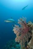 Haaien en koraalrif royalty-vrije stock fotografie