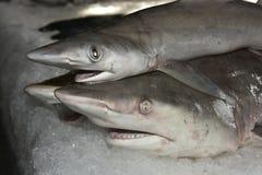 Haaien op Ijs Royalty-vrije Stock Afbeeldingen