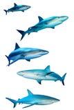 Haaien op wit Royalty-vrije Stock Afbeeldingen