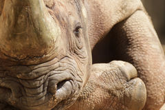 Haak-lipped Rinoceros (bicornis Diceros) royalty-vrije stock foto's