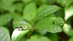 Haak-uiteinde aapsprinkhaan met het gele en zwarte kleur hangen nog op blad in hout stock videobeelden