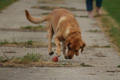 Haal! Speeltijd van een hond royalty-vrije stock foto