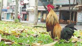 Haan in de straat Saigon stock videobeelden