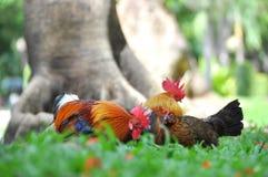 Haan in de Tuin Stock Fotografie