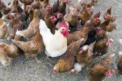Haan in een kippenkippenren Royalty-vrije Stock Foto's