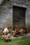 Haan en chickn Royalty-vrije Stock Afbeelding