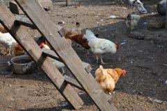 Haan en kip als nieuw jaarsymbool Royalty-vrije Stock Afbeelding