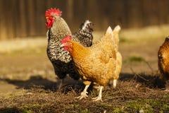 haan en kip bij een landbouwbedrijf Royalty-vrije Stock Afbeeldingen