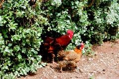 Haan en kip in de tuin royalty-vrije stock afbeeldingen