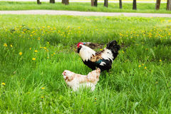 Haan en kip op een weide Stock Afbeeldingen