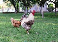 Haan en kip in yard stock afbeeldingen