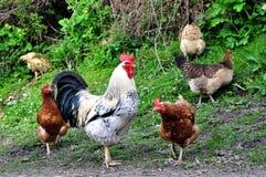 Haan en kippen Royalty-vrije Stock Foto's