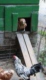 Haan en Kippen die een helling beklimmen in de kippenkippenren Royalty-vrije Stock Fotografie