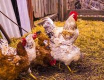 Haan en kippen Een familie Stock Foto's