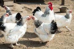 Haan en kippen met zwart-witte veren royalty-vrije stock foto