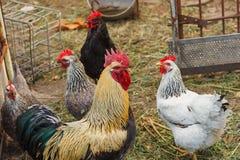 Haan en kippen op een kippenlandbouwbedrijf royalty-vrije stock afbeelding