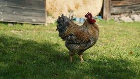 Haan en kippen in werf stock videobeelden